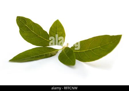 Gynura procumbens foglie isolati su sfondo bianco. Utilizzato per il rene disagio, reumatismi, diabete mellito, costipazione e ipertensione. Foto Stock