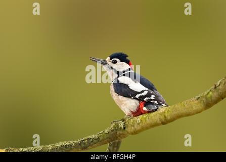 Maschio di Picchio rosso maggiore (Dendrocopos major) appollaiato su un ramo di albero in autunno in Arundel, West Sussex, in Inghilterra, Regno Unito. Con copia spazio. Foto Stock
