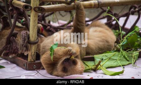 Un primo piano di un adorabile baby bradipo dormire in un bambù den progettato come una scalata degli aiuti per lo sviluppo di bradipi. Jaguar Centro di salvataggio, Costa Rica Foto Stock