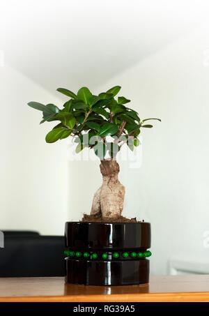 Vista ravvicinata di un bellissimo bonsai Ficus Ginseng in un pot nero. Il feng shui mini tree Foto Stock