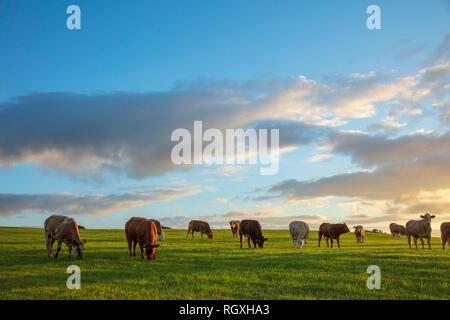 Di sera il pascolo di bestiame in un campo, nella contea di Sligo, Irlanda. Foto Stock