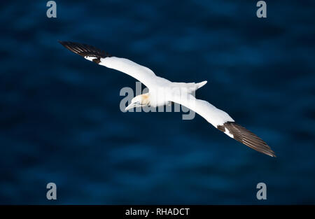 In prossimità di una regione del nord della gannett (Morus bassana) in volo sopra il mare blu, Noss isola, Shetland, Regno Unito. Foto Stock