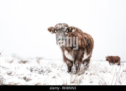 Hardy highland bovini e di vacche in un campo remoto durante l'inverno quando il terreno è coperto di neve Foto Stock