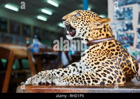 Un cub nella custodia di un giardino zoologico in Kanchanaburi, Thailandia. Esso è presentato dai suoi proprietari per i turisti; un mezzo per raccogliere le donazioni