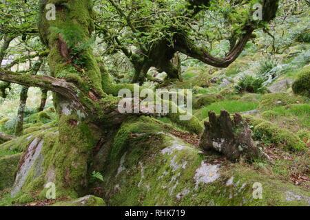 Twisted, Gnarly, recedono coperte di muschio sessili alberi di quercia (Quercus petraea) di legno Wistmans. Dartmoor Devon, Regno Unito. Foto Stock