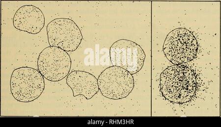 . Il bollettino biologico. Biologia; Zoologia; biologia marina. La sintesi proteica in ricci di mare uova 215 attività dal polysome regione alla regione monoribosome del gradiente dopo la Rnasi-trattamento di omogenati, particolarmente delle uova fecondate; inoltre, pre- trattamento con Rnasi priva di tripsina ha sensibilizzato l'uovo non fecondato aggregati a dissociazione da parte di Rnasi. 4. Autoradiografia di uova non fertilizzati la presenza di proteina etichettata in non fecondato ricci di mare le uova che erano state esposte a amminoacidi radioattivi è stata dimostrata autoradiograficamente in inchieste precedenti (