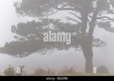 Un scot Lone Pine Tree in vista Bratley nel nuovo Parco Nazionale Foreste Hampshire