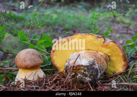 Due giovani esemplari di commestibile, ma rari funghi selvatici Boletus subappendiculatus in habitat naturale di montagna, foreste di abete rosso Foto Stock