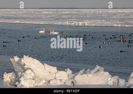 Carta Harrison Township, Michigan - Cigni (Cygnus olor) con le anatre in gran parte-lago ghiacciato di St Clair in inverno. Foto Stock