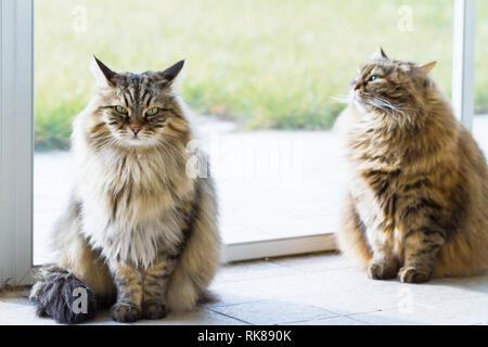 Bellezza gatti Siberiani di bestiame in relax in un giardino, capelli lunghi Foto Stock