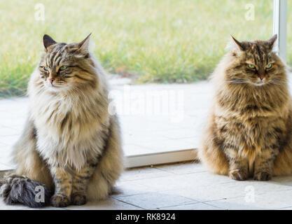 Adorabili gatti marrone del bestiame in relax in un giardino, capelli lunghi siberiano Foto Stock