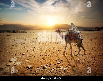 Bedouin passeggiate a dorso di cammello attraverso il deserto sabbioso. Foto Stock