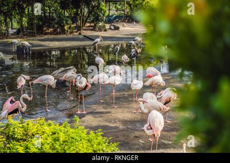 Fenicottero rosa o i fenicotteri sono un tipo di trampolieri nella famiglia Phoenicopteridae, l unica famiglia di uccelli nell'ordine Phoenicopteriformes. Fenicotteri rosa Foto Stock