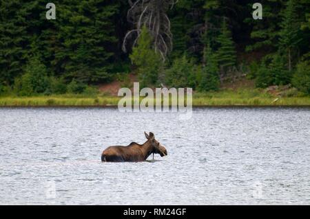 Alci a Scott Lago, grande orso deserto di Flathead National Forest, Montana. Foto Stock