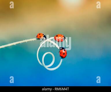 Tre rossi ladybugs strisciando una dopo l'altra sull'erba verde curvato in una spirale in estate prato soleggiato