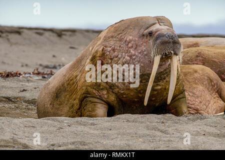 Atlantic tricheco (Odobenus rosmarus rosmarus). Questo grande gregaria rispetto del sigillo ha zanne che può raggiungere un metro di lunghezza. Sia il maschio (B Foto Stock