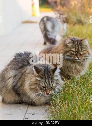 Tabby pelliccia gatti di razza Siberiana in un giardino,capelli lunghi ipoallergenici per animali domestici Foto Stock