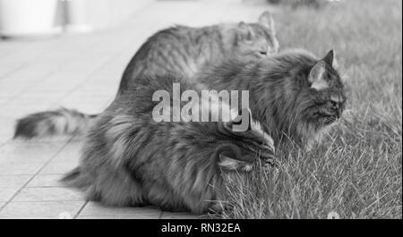 Adorabili creaturine gatti di razza Siberiana in un giardino,capelli lunghi ipoallergenici per animali domestici Foto Stock