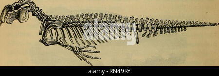 . Fisiologia animale. Fisiologia, confronto; fisiologia, comparativo. Fig. 227.-scheletro della guarnizione. vc, vertebre cervicali ; vd, vertebre dorsali ; vl, vertebre lombari; vs, vertebra sacrale; vq, vertebre caudali ; b, bacino; s, sterno ; li, Omero ; r, raggio; ca, carpo ; mc, metacarpo; ph, falangi; 0, scapola ; c, nervature; /, femore; r, patella; t, tibia ; ta, Tarso ; mt, metatarso ; ph, falangi. stesso piano come ribalta; ma essi sono portati lontano indietro, così come quasi ad occupare la posizione della coda. 665. In la balena e i suoi alleati, d'altro canto, l'estremità posteriore sono al Foto Stock