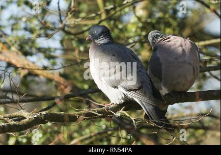 Due Woodpidgeon Columba palumbus, appollaiate su un albero. Foto Stock
