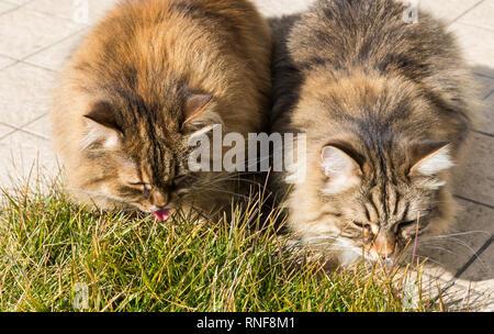 Capelli lunghi gatti di razza Siberiana in un giardino. Adorabili animali domestici all'aperto sull'erba verde, ipoallergenico in animali di allevamento in relax Foto Stock