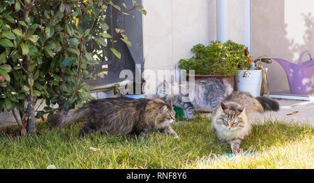 Pelose gatti di razza Siberiana in un giardino. Adorabili animali domestici sull'erba verde, ipoallergenico in animali di allevamento in relax Foto Stock