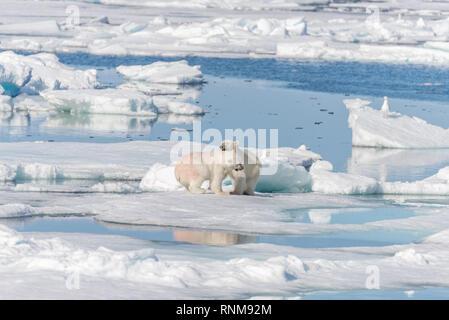 Due giovani wild polar bear cubs giocando sulla banchisa nel mare Artico, a nord delle Isole Svalbard Foto Stock