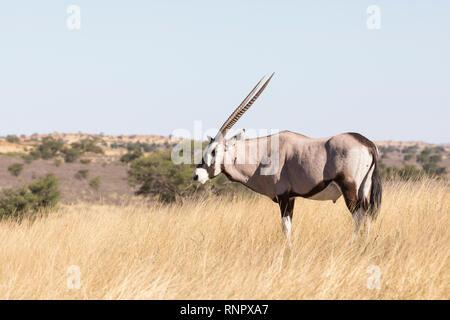 Gemsbok, Oryx gazella, nel Kgalagadi transfrontaliera, Parco Nazionale, Northern Cape, Sud Africa in piedi nella prateria a secco di mangiare nella luce della sera,