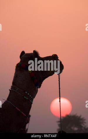 Cammello al tramonto nel Rajasthan, India