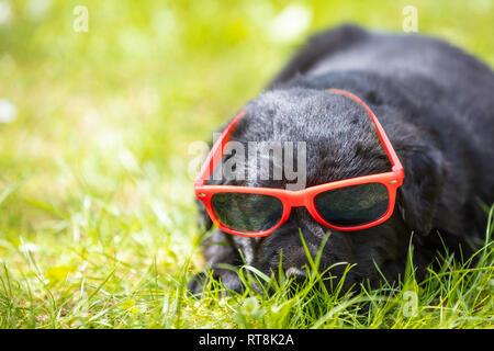 Funny labrador retriever cucciolo sguardi attraverso occhiali da sole. Cane giacente all'aperto nell'erba in estate Foto Stock