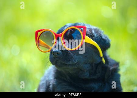 Funny labrador retriever cucciolo sguardo attraverso occhiali da sole. Cane a giocare all'aperto nell'erba in estate Foto Stock