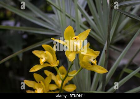 Il giallo dei fiori di orchidea Cymbidium Foto Stock