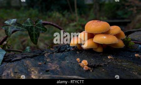 Essendo sopravvissuti solido congelato, un grande agglomerato di piccoli funghi arancione (gambo di velluto, funghi Flammulina velutipes) coperto di brina su un ceppo di albero Foto Stock