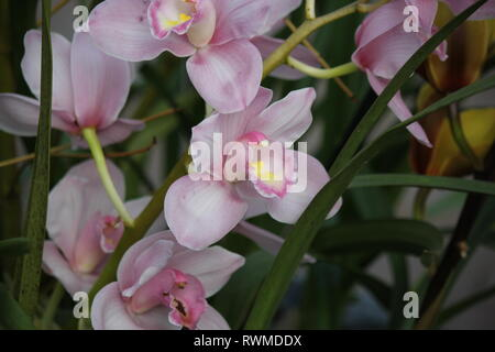 Bella e fresca orchidea cymbidium fiori e piante al Lincoln Park Conservatory in Chicago, Illinois. Foto Stock