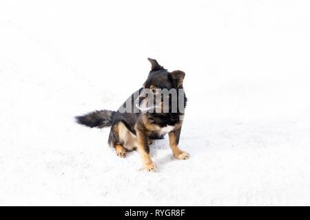 Funny chihuahua cane in posa su una spiaggia di occhiali da sole Foto Stock