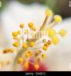 Macro di un bianco e rosso dei fiori di ibisco