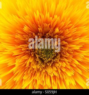 Bright summer sun flower Foto Stock