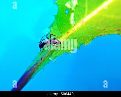 Ant su una foglia galleggiante sull'acqua Foto Stock