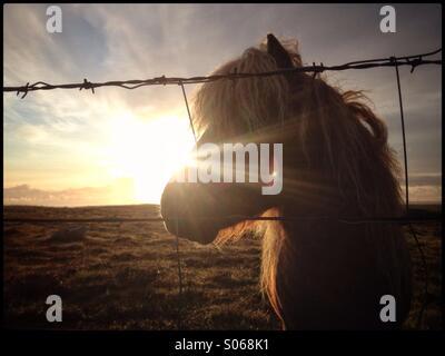 Pony Shetland dietro barbwire. Credito di Ramsden Lee / ALAMY Foto Stock