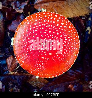 Amanita Muscaria o Fly Agaric mushroom Foto Stock