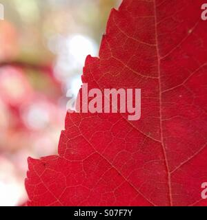 Autumn Leaf macro Foto Stock