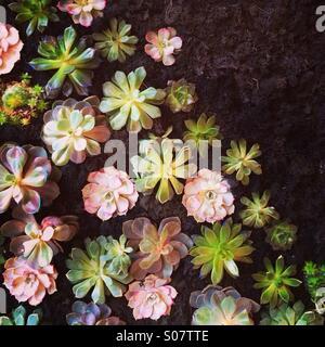 Succulenti parete Foto Stock