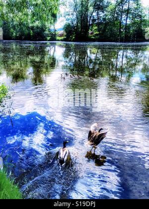 Vista da un laghetto con le anatre, uno di essi cercano di volare Foto Stock