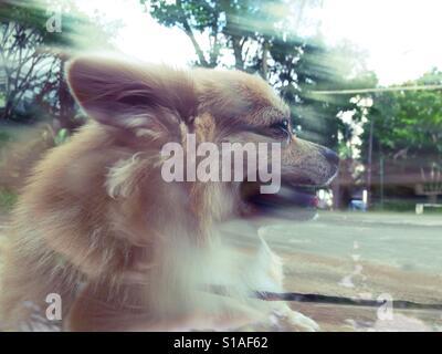 Foto di sfocatura di Chihuahua capelli lunghi Foto Stock