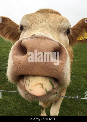 Leccata di mucca Foto Stock