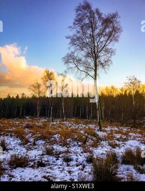Argento di betulle nel paesaggio invernale con neve sul terreno Foto Stock