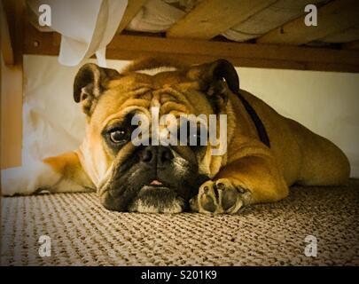 Bulldog inglese, il suo luogo sicuro Foto Stock