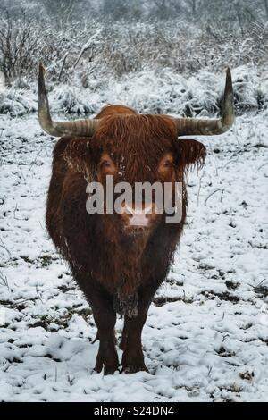 Aberdeen Angus cow nella neve Foto Stock