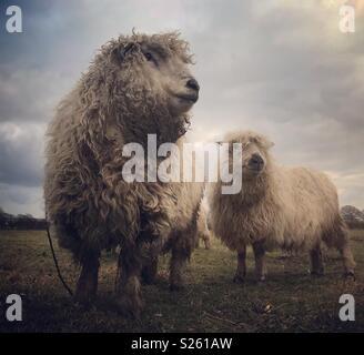 Close up di pecora con lungo il vello di lana Foto   Immagine Stock ... 55260408cc14
