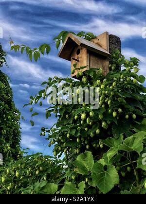 Birdhouse circondato da luppolo e viti Foto Stock
